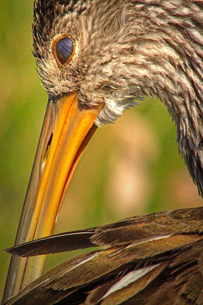 2019.12.31 Sweetwater Wetlands Limpkin 10