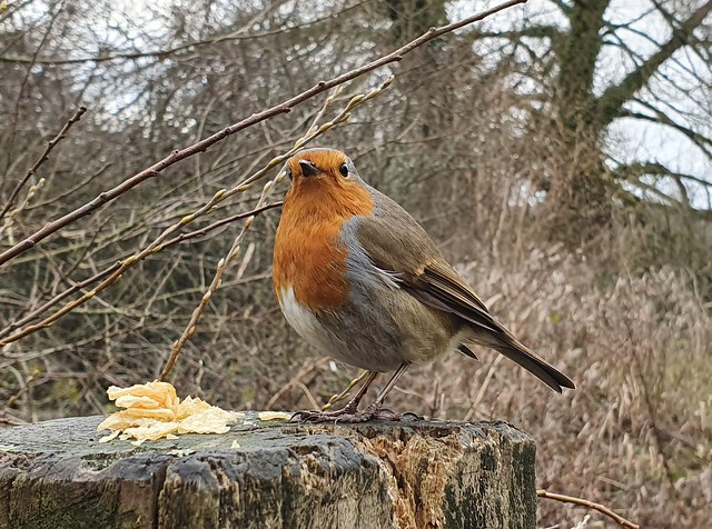 Friendly Robin - Woods Mill