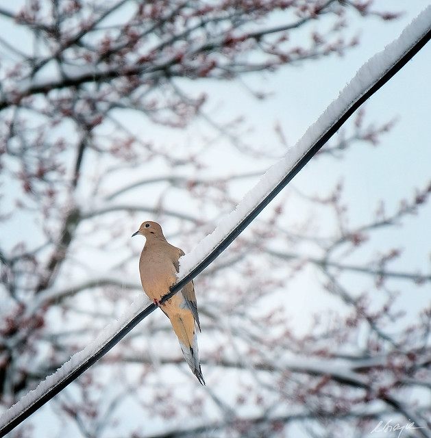 OV-692-Bird on a Snow-capped wire