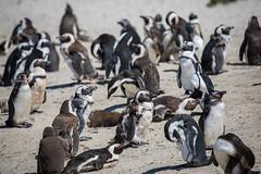 Penguin Colony (1)