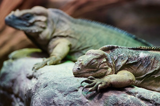 Iguana dreaming, Melbourne Zoo | by Joe Lewit