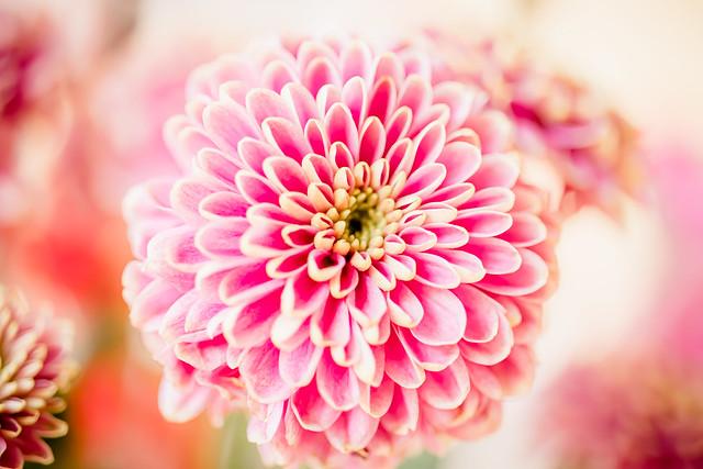 Blüte rosa