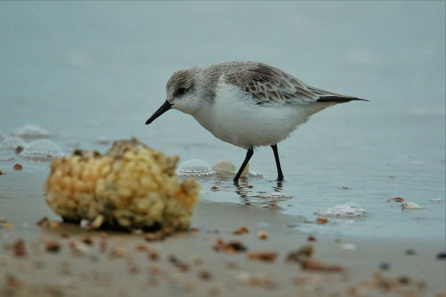 Sanderling (Calidris alba)   New years Day 1/1/2020