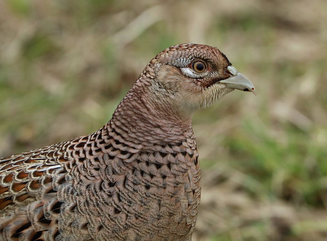 Female Ring-necked Pheasant --- Phasianus colchicus