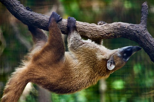 Playful Coatimundi