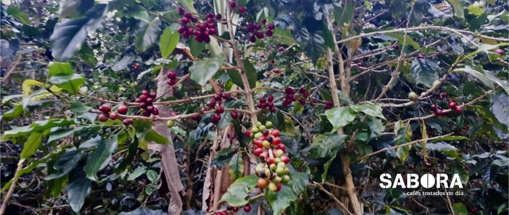 Cafeto de café Bourbon en la zona de Vietnam
