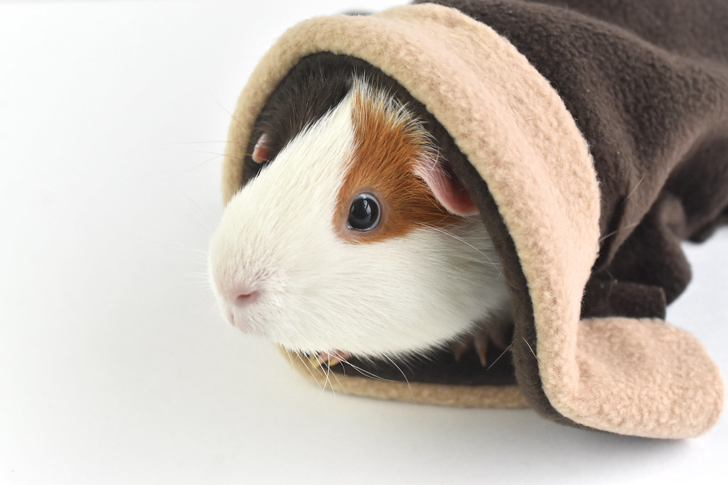 Robe  for a Guinea Pig