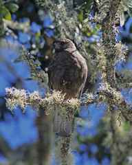 A large brown raptor, an 'io (Hawaiian hawk), sits in a leafy and mossy tree.