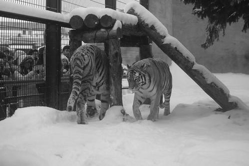 03-01-2020 at Asahiyama Zoo, Asahikawa (91)