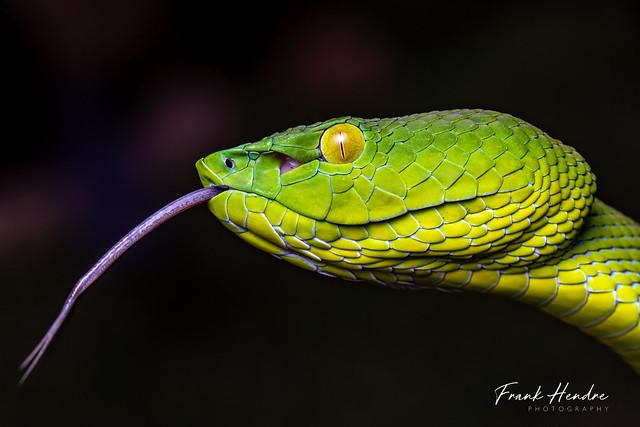Peninsula Pit Viper