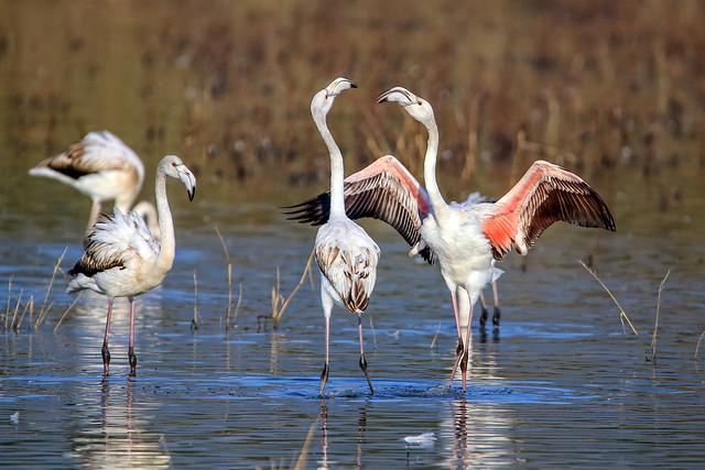 Fenicotteri rosa________Pink flamingos