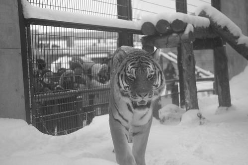 03-01-2020 at Asahiyama Zoo, Asahikawa (89)