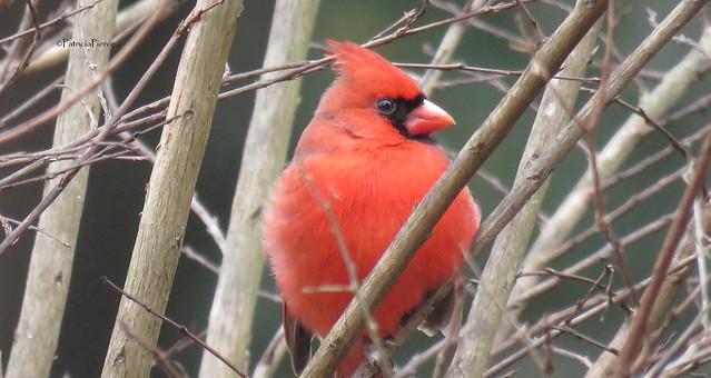 male cardinal8