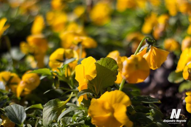 El capricho: Amarillo