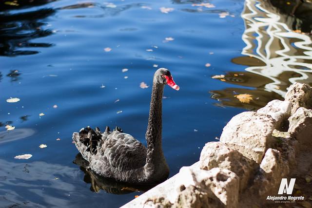 El capricho: Cisne Negro
