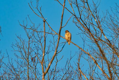 virginia background bird hawk huntleymeadows merlin raptor sunrise wildlife winter