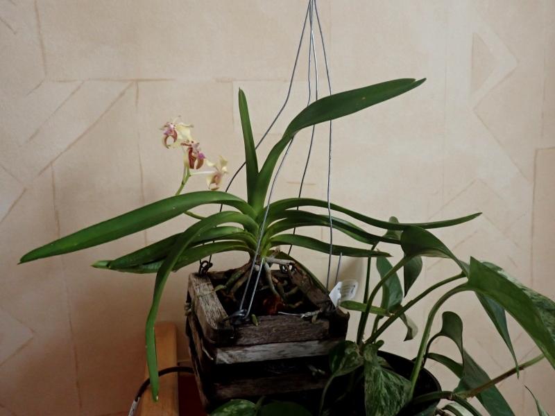 Les Orchidées chez Cloo en 2020 49321436233_af7422eea7_o