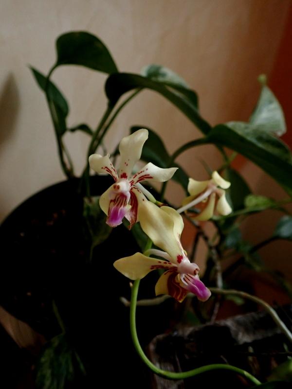 Les Orchidées chez Cloo en 2020 49321436283_079247b5eb_o
