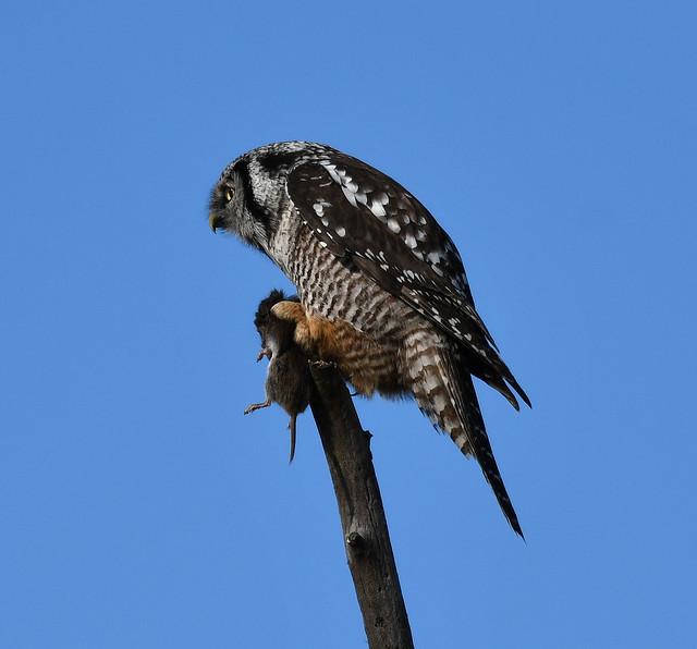 Northern Hawk Owl - Surnia ulula