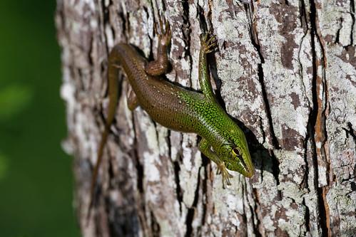 bohol philippines animal cebu travel skink reptile