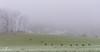 Troupeau de chamois dans la brume