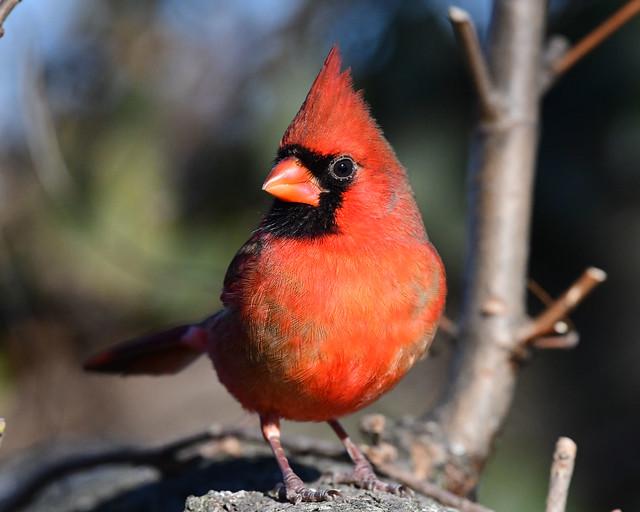850_3400.jpg Northern Cardinal