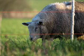Day 3: Neighbourhood sheep