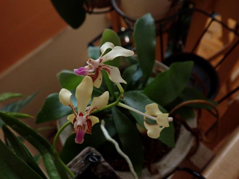 Les Orchidées chez Cloo en 2020 49322144622_f51c4ecb00_o