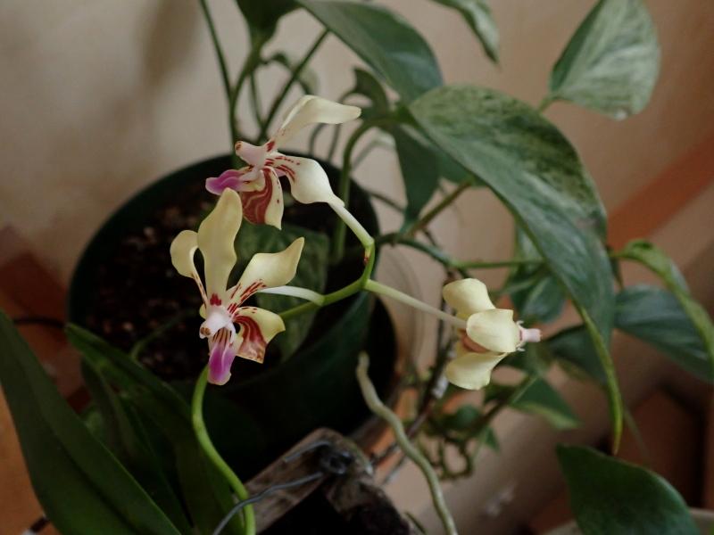 Les Orchidées chez Cloo en 2020 49322144672_18626faa8c_o