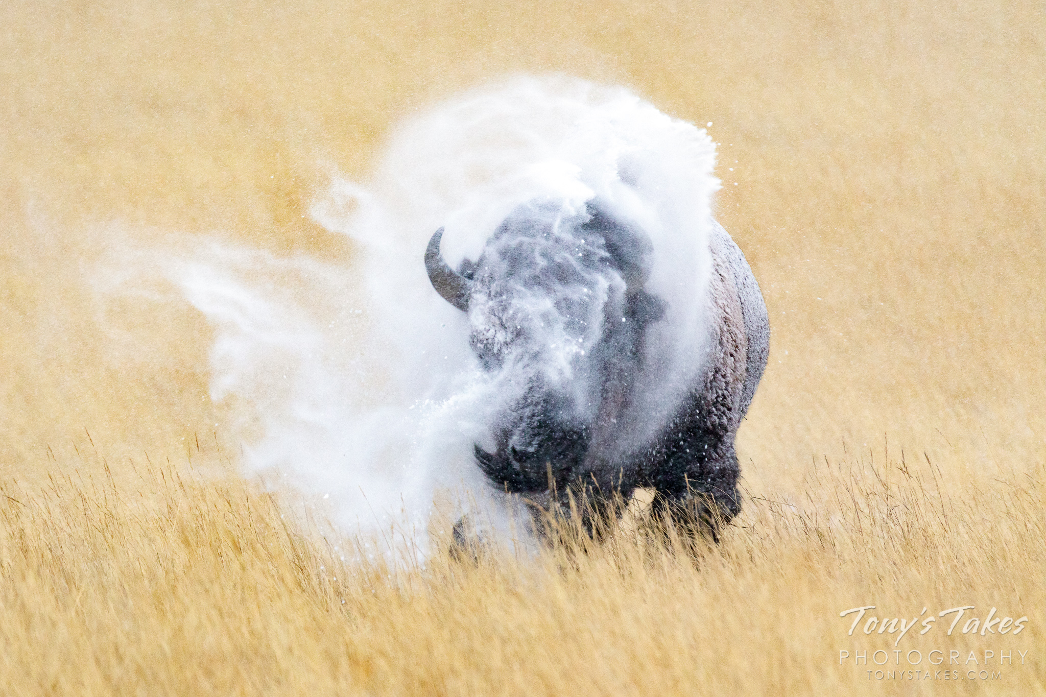 A bison bull shakes snow off his body at the Rocky Mountain Arsenal National Wildlife Refuge. (© Tony's Takes)