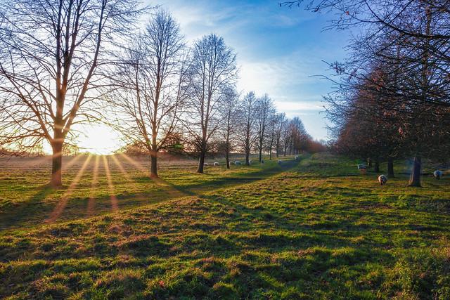 Sun, sheep and some treeas