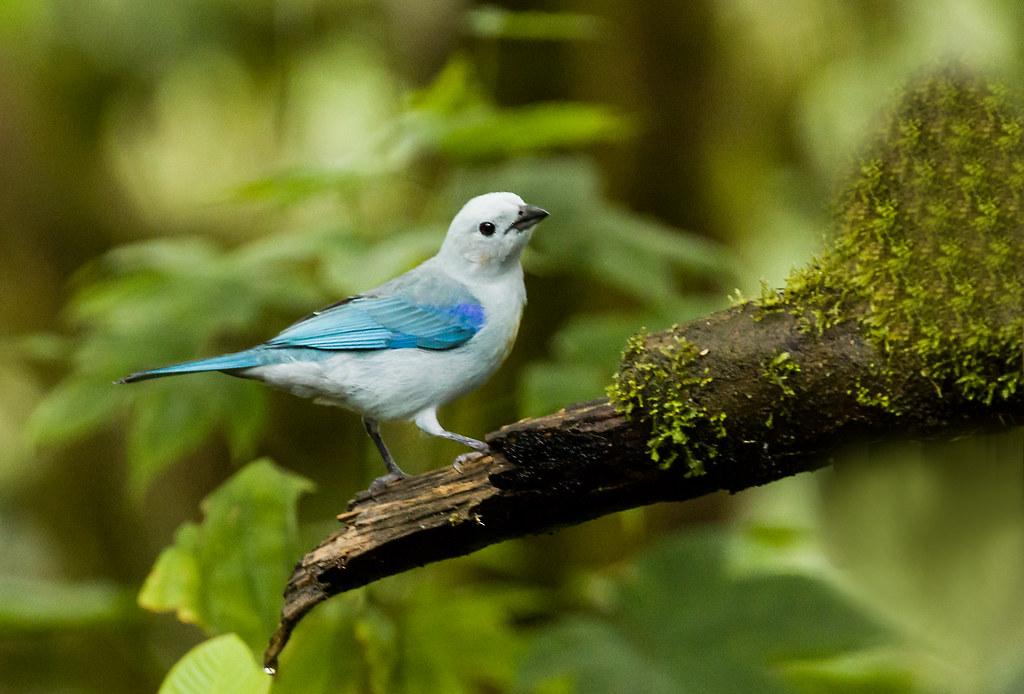 0P7A0840   Blue-gray Tanager, Ecuador