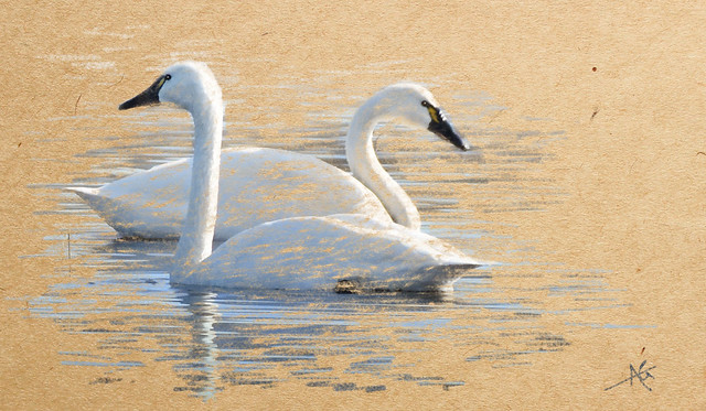 Swans at Ankeny