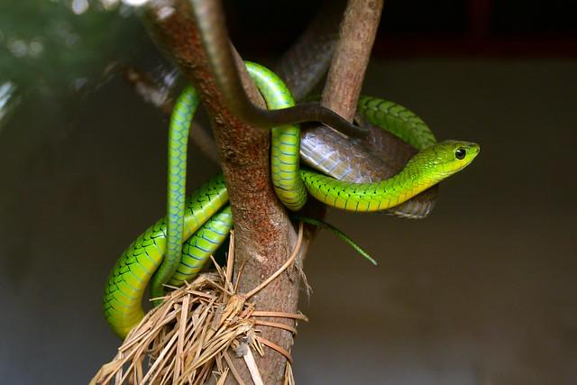 Boomslang snake (Dispholidus typus)