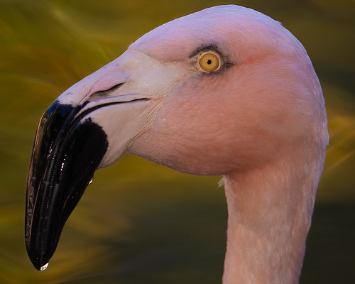 sony sonya7riv sonygmaster godox godoxv1 phoenix phoenixzoo arizona outdoors flash closeup flamingo pinkflamingo bird lake bokeh photoshop lightroom nikcollection sony70200mmf28gmaster sonyalpha