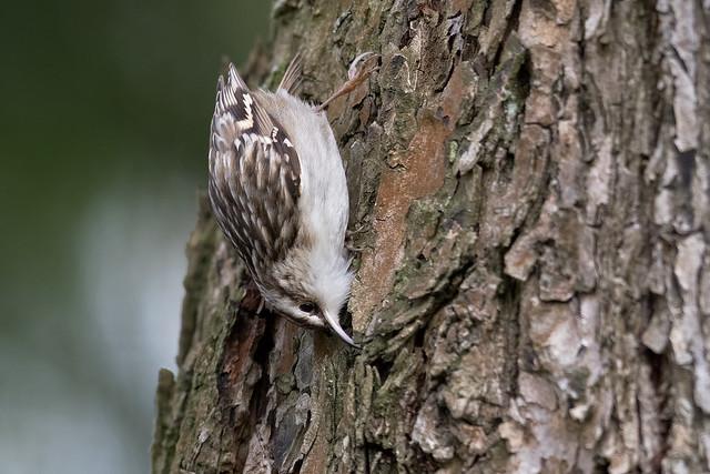 Short-toed Treecreeper - Gartenbaumläufer
