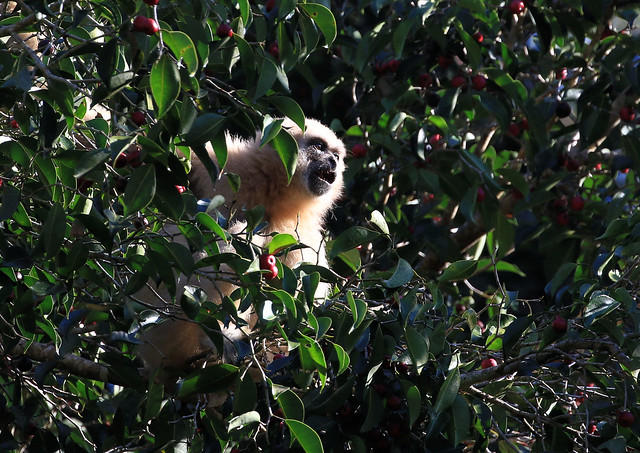 Gibbon lar - Khao Yai/Nakhon Ratchasima/TH_20191217_334