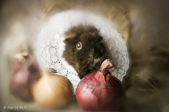 Olga my darling little guinea pig