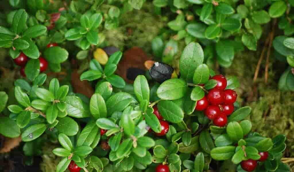 le-jus-du-fruit-airelle-permet-de-réduire-la-pression-artérielle