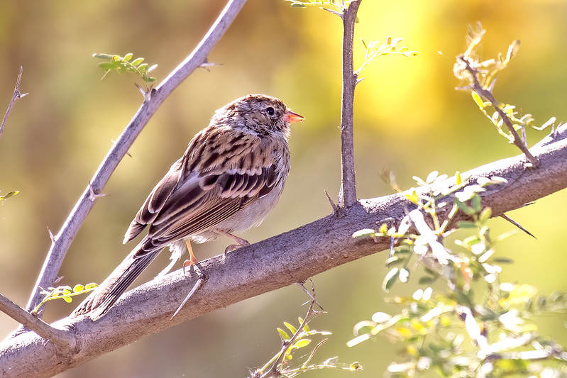 Chipping-Sparrow-19-7D2-101019