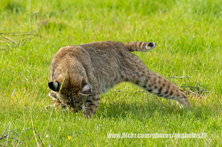 Bobcat - The Attack _ IMG_0832