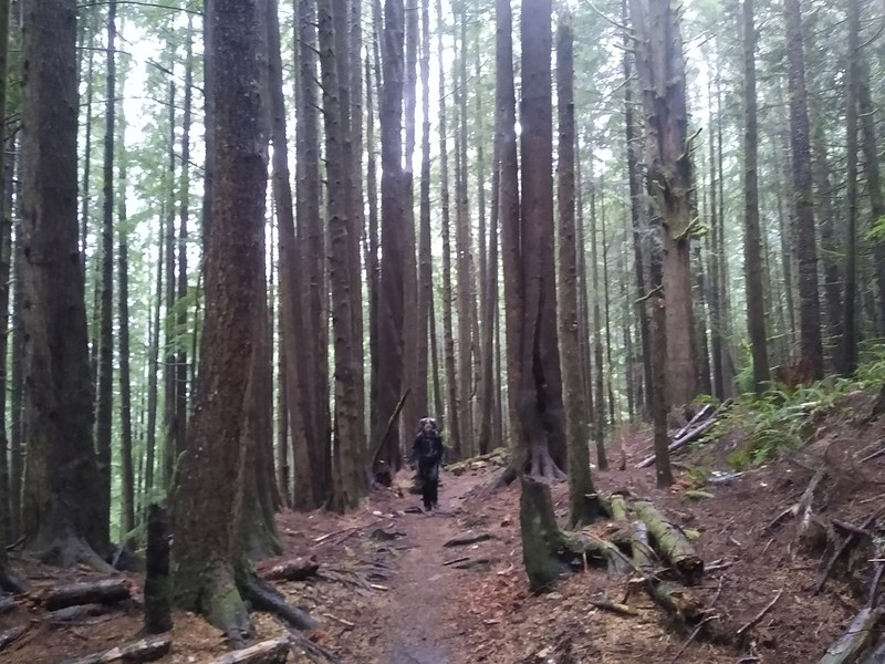 Tall pines in a misty forest on the West Coast Trail as we head toward Port Renfrew from Thrasher Cove