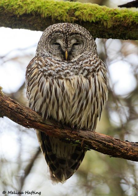 Barred Owl (Strix varia) - Washington State