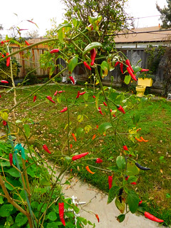 Chili peppers in our backyard