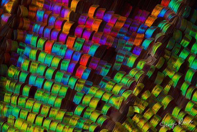Escamas de ala de mariposa Urania
