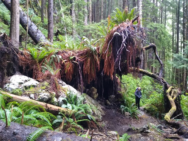 The trail goes right under an uprooted tree stump with ferns growing all over it, on the West Coast Trail