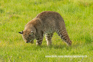 Bobcat - Poised to Attack _ IMG_0829