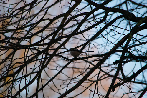 Long-tailed tit in tree