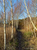 Path through Birch Trees in winter, Swaddywell