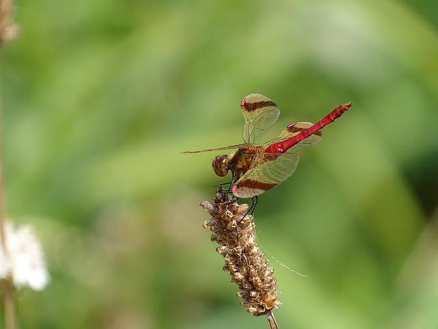 Bandheidelibel | Banded Darter male (Sympetrum pedemontanum) male